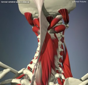 Interactive_spine_-_cervical_vertebral_spine_-_L7F21